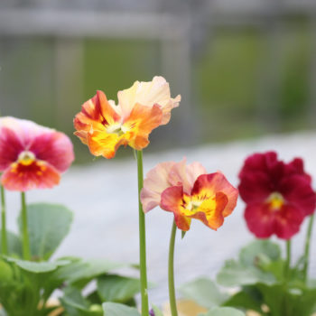 大牟田さんの育てた育種ビオラ「エボルベ」